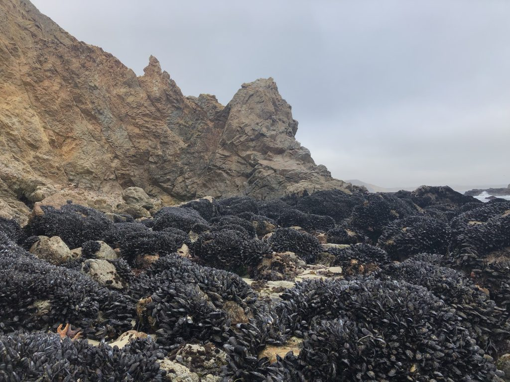 View of rocks covered in black mussels with a rocky grey and light brown cliff in the background. The sky is a grey fog.